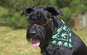 The Benefits of Using CBD For Dogs